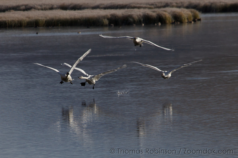 National Elk Refuge in Wyoming. Swans