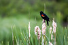 Red-Winged Blackbird and Cattails