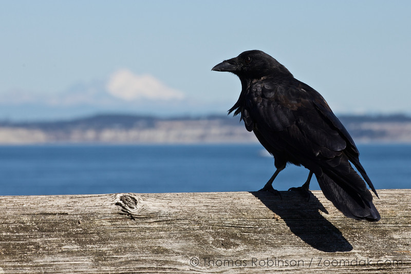 A crow stands along a dock railing with Mt. Baker in the background.