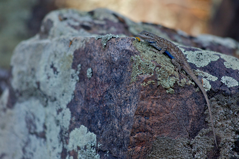 A blue bellied northern plateau lizard, also known as the eastern fence lizard (Sceloporus undulatus), blends in with its habitat in the Black Canyon National Park.