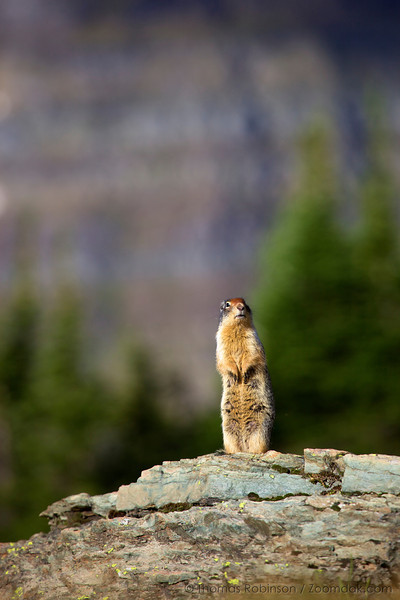 A Columbian ground squirrel (Spermophilus columbianus) perches as sentry on a rock in Glacier National Park.