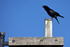 An American Crow (Corvus brachyrhynchos) caws atop a sign post.