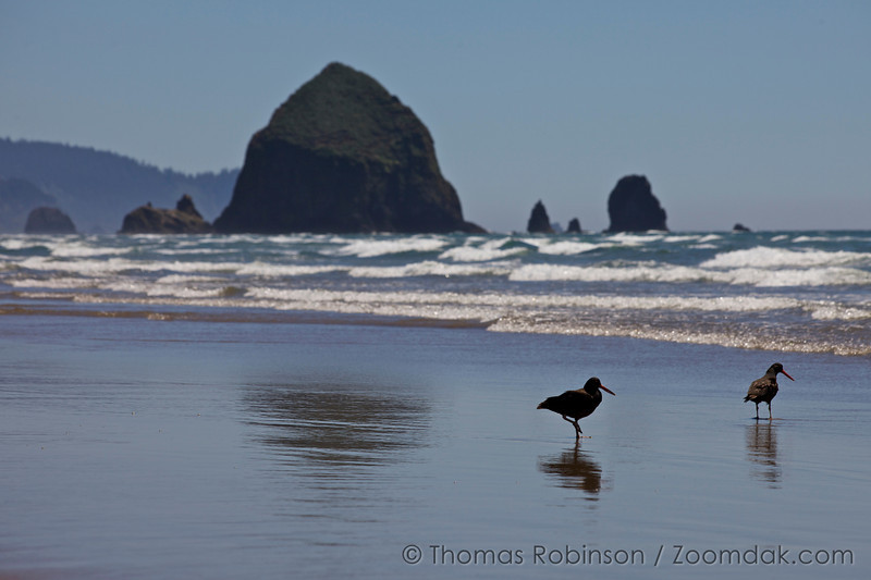 Oystercatchers and Haystack Rock