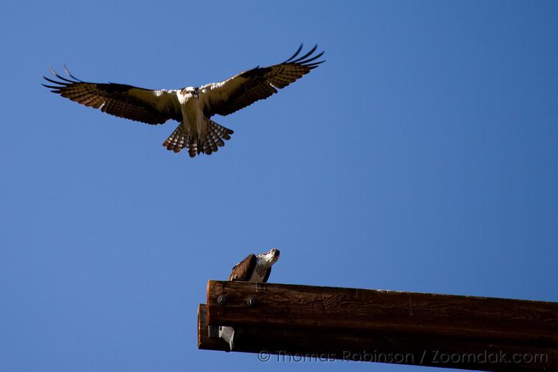 Osprey Fly Over