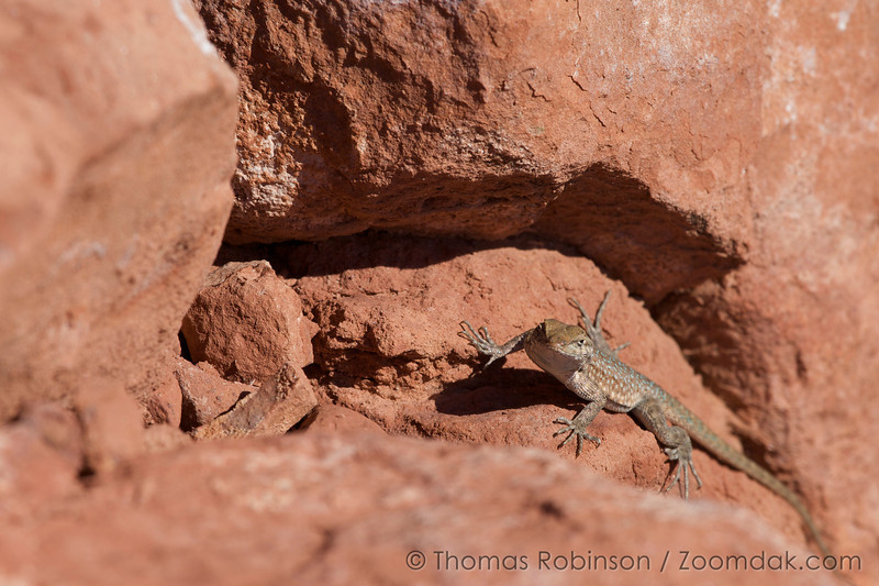 A common wall lizard (Podarcis muralis) with beautiful blue spots climbs up a rock near the Grand Canyon.
