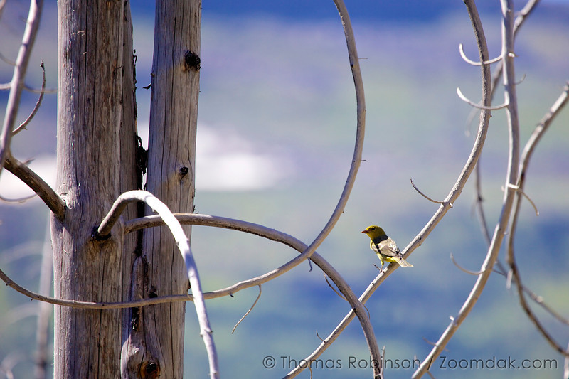 A female Western Tanager (Piranga ludoviciana) perched alerted in a grove of tree in Glacier National Park, Montana. Glacier is home to 277 species of birds.