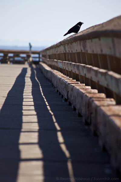 A crow sits on the dock railing near the Port Townsend Marine Science Center.