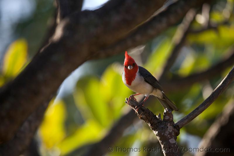 A Brazilian Red Capped Cardinal (Paroaria gularis) looks about curiously one morning in Poipu, Kauai.