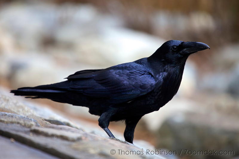 """Raven Portrait (Corvus corax). <br /> <br /> """"Consider the ravens: They do not sow or reap, they have no storeroom or barn; yet God feeds them. And how much more valuable you are than birds!"""" <br /> - Luke 12:24"""