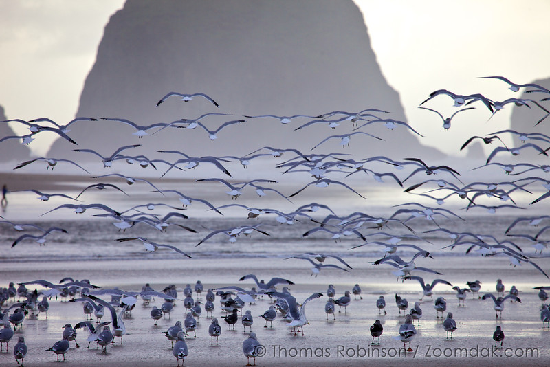 A flock of Pacific Gulls (Larus pacificus) take flight in front of Haystack Rock near Ecola Creek in Cannon Beach, Oregon.