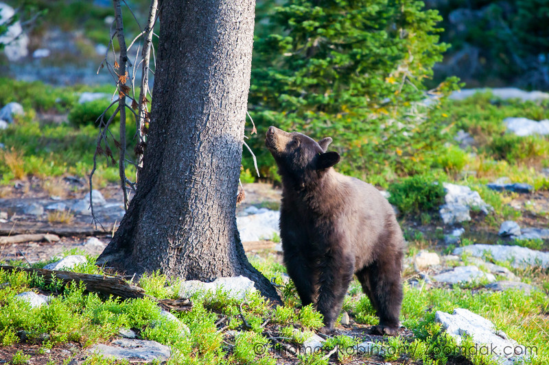 Morning Black Bear
