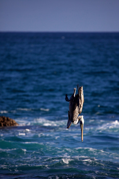Brown pelican (Pelecanus occidentalis) frequently dive for fish, occasionally completely submerging themselves.