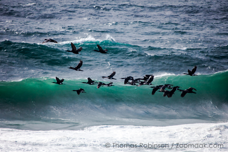 Cormorant Flock in Flight