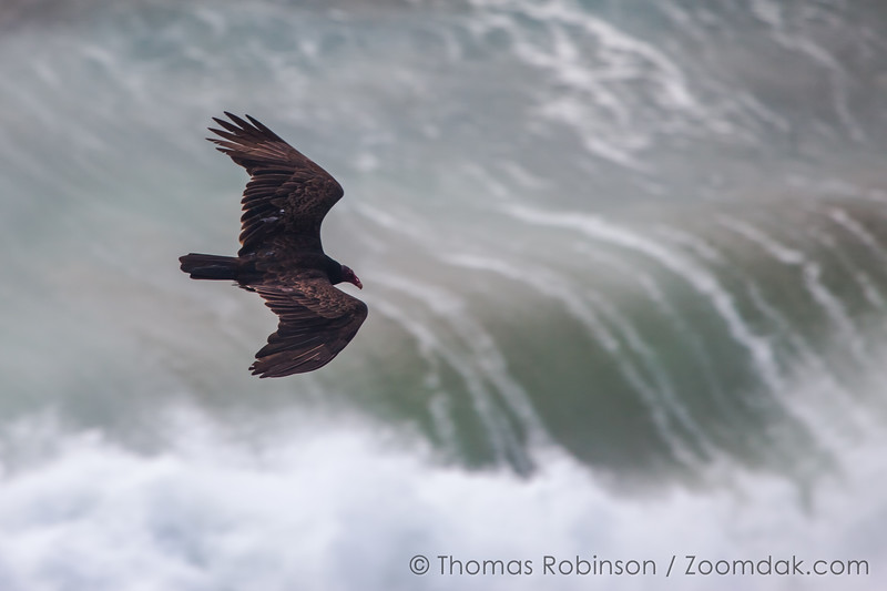 Soaring Turkey Vulture and Sea