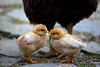 Two baby chickens gather under the wings of their adopted mother.