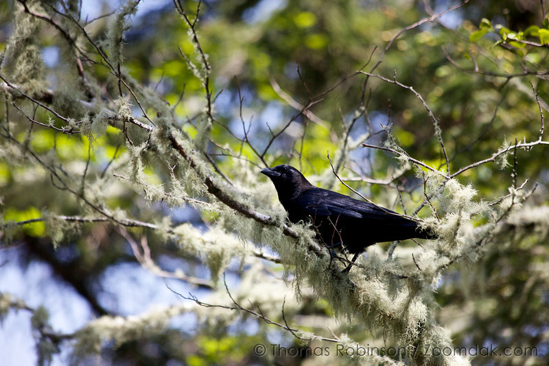 A raven (Corvus corax) perches on the branch of an alder tree at Cape Perpetua.