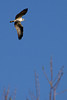 An osprey hunts for prey above the trees of Rooster Rock State Park along the Columbia River Gorge, Oregon.