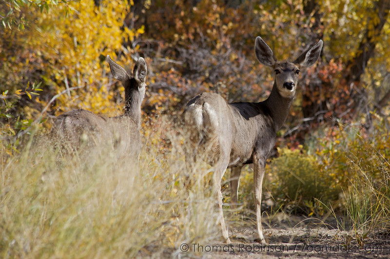 A mother mule deer (Odocoileus hemionus) and its offspring wonder through the forest near Great Sand Dunes National Park, Colorado.