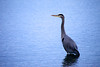 A Great Blue Heron (Ardea herodias) keeps watch for prey and predators at Birch Bay near Bellingham, Washington.