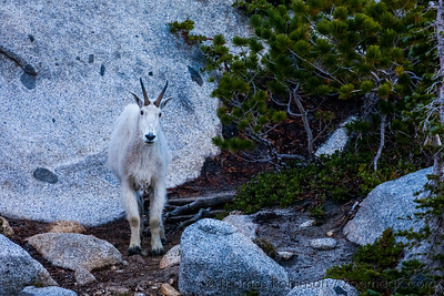 Mountain Goat Gaze