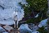 Mountain Goat Gaze