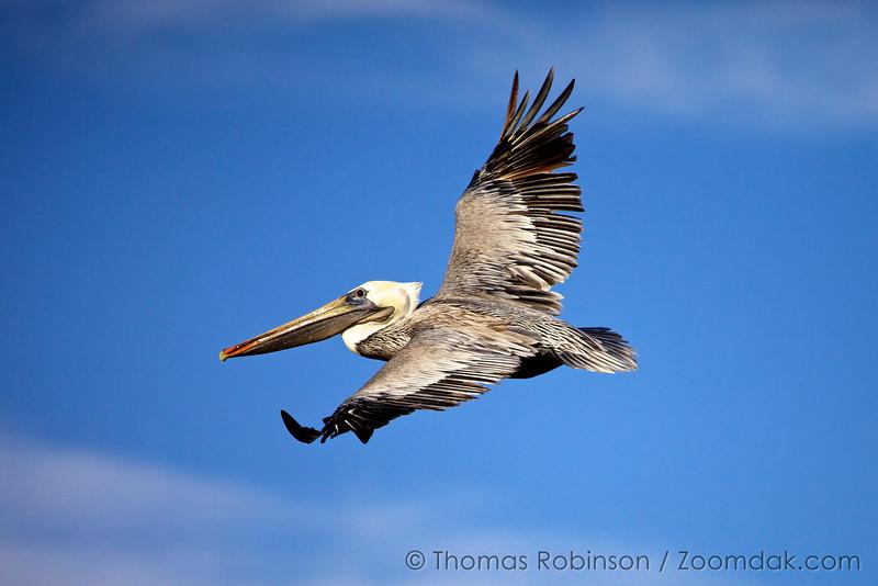 A brown pelican (Pelecanus occidentalis) in flight, soaring above the ocean.