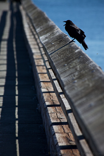 A crow caws while sitting on the dock railing near the Port Townsend Marine Science Center.