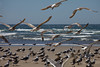A group of seagulls (Larus pacificus)  take off down the beach.