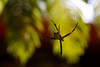 A Hawaiian garden spider (Argiope appensa) hangs on its web outside a coffee shop on the north shore of Kauai.