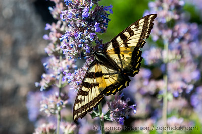 Western Tiger Swallowtail Top