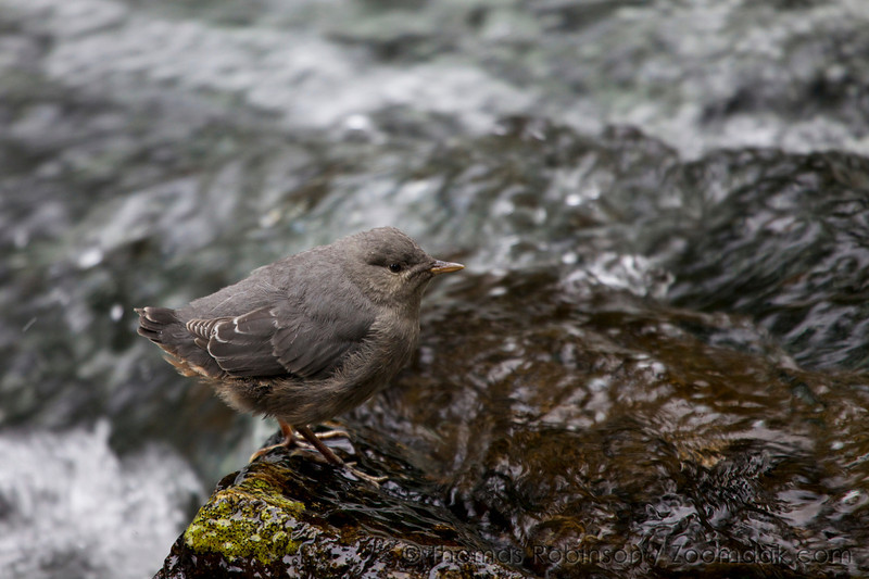 An American Dipper (Cinclus mexicanus), also known as a Water Ouzel thrives in cold mountain streams. The dipper gets its name from the bouncing up and down on stream edges.