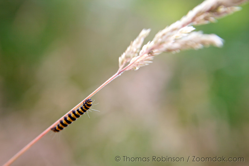 A caterpillar of the cinnabar moth (Tyria jacobaeae) climbs a stock of grass.