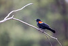 Red-Wing Blackbird Perch