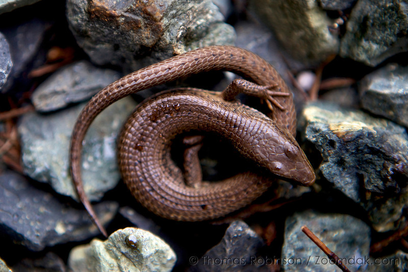 Northern Alligator Lizard Oregon