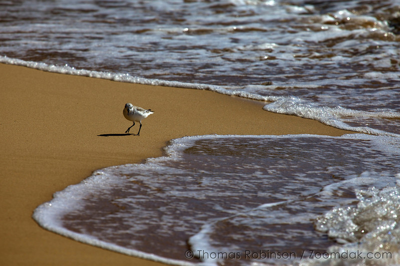 A Semipalmated Sandpiper (Calidris pusilla) searches for a morsel of food along the tide line on Mahaulepu beach in Kauai.
