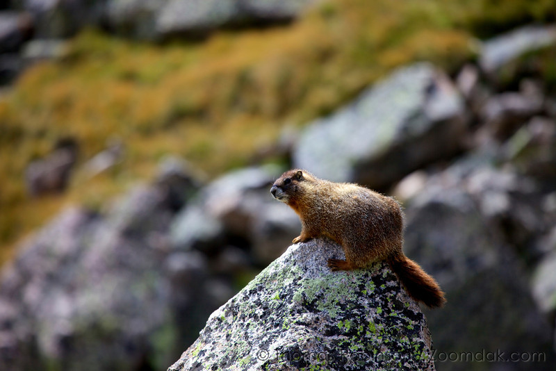 A yellow-bellied marmot (Marmota flaviventris) looks over its domain near the Lake of Many Winds in the Rocky Mountain National Park.