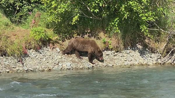 Katmai National Park Brown Bears