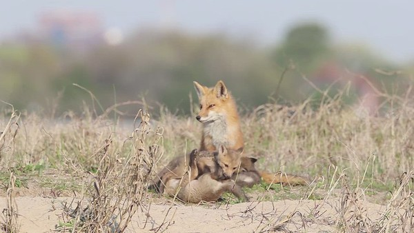 Fort Monroe Red Foxes