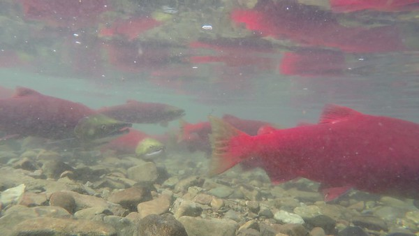 Katmai National Park Sockeye (Red) Salman