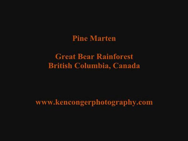 Great Bear Rainforest Pine Marten