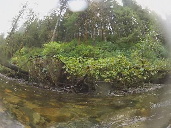 Great Bear Rainforest Chum Salmon