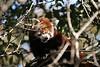 Red Panda at the Symbio park, Helensburgh, Australia