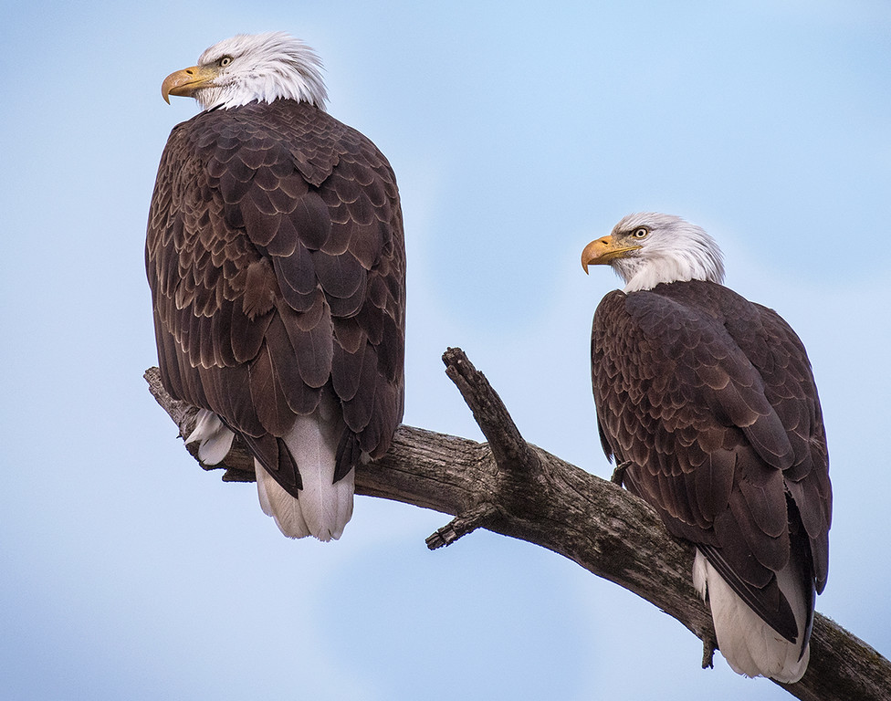 Wallowa Lake Bald Eagle Pair,  December 2015