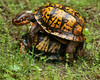 Box Turtle Love 6-5-14