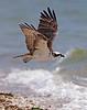 Ospreys 8-15-18