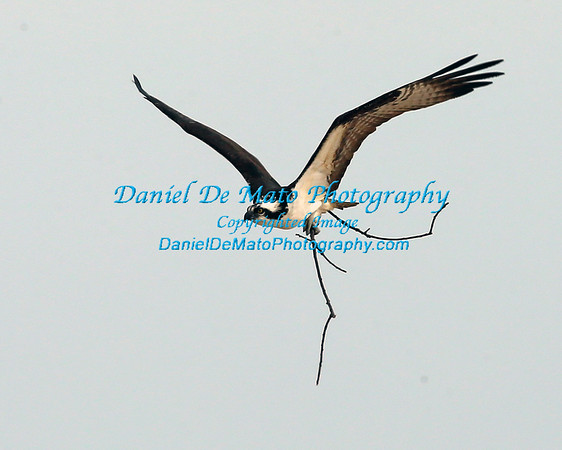 Ospreys and Swans on Nassau Point Cutchogue NY