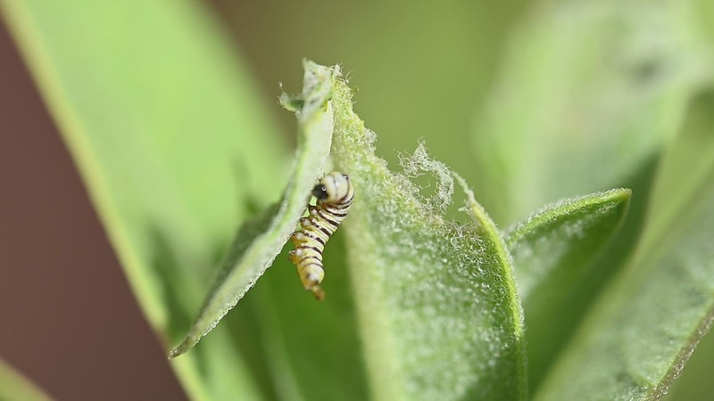 Monarch Catepillars