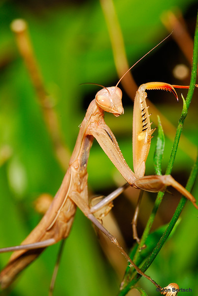 Praying mantis hunting