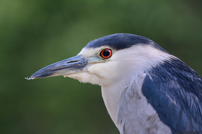 Portrait of a Night Heron