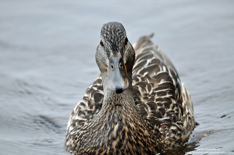 Cottage Duck